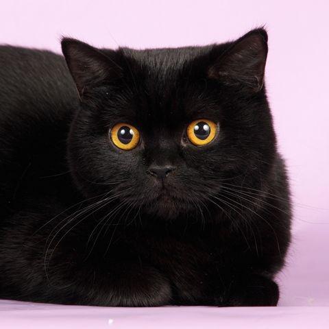 британец котенок фото черный